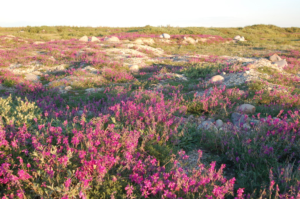 Churchill, Manitoba is a treasure trove of wildflowers.