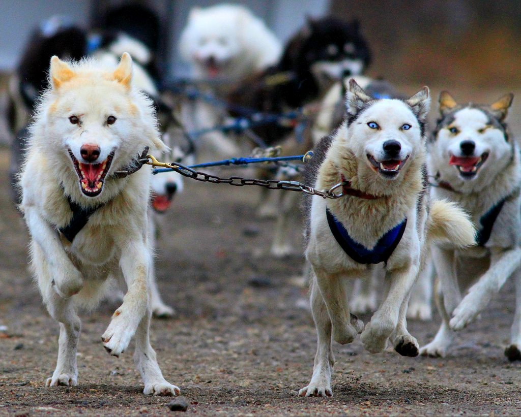 Churchill sled dogs in full mush mode. Brad Josephs photo.
