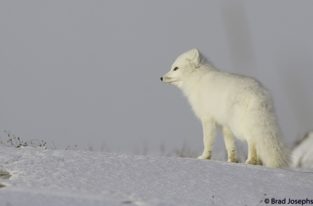 Arctic fox on the tundra in Churchill, Manitoba.