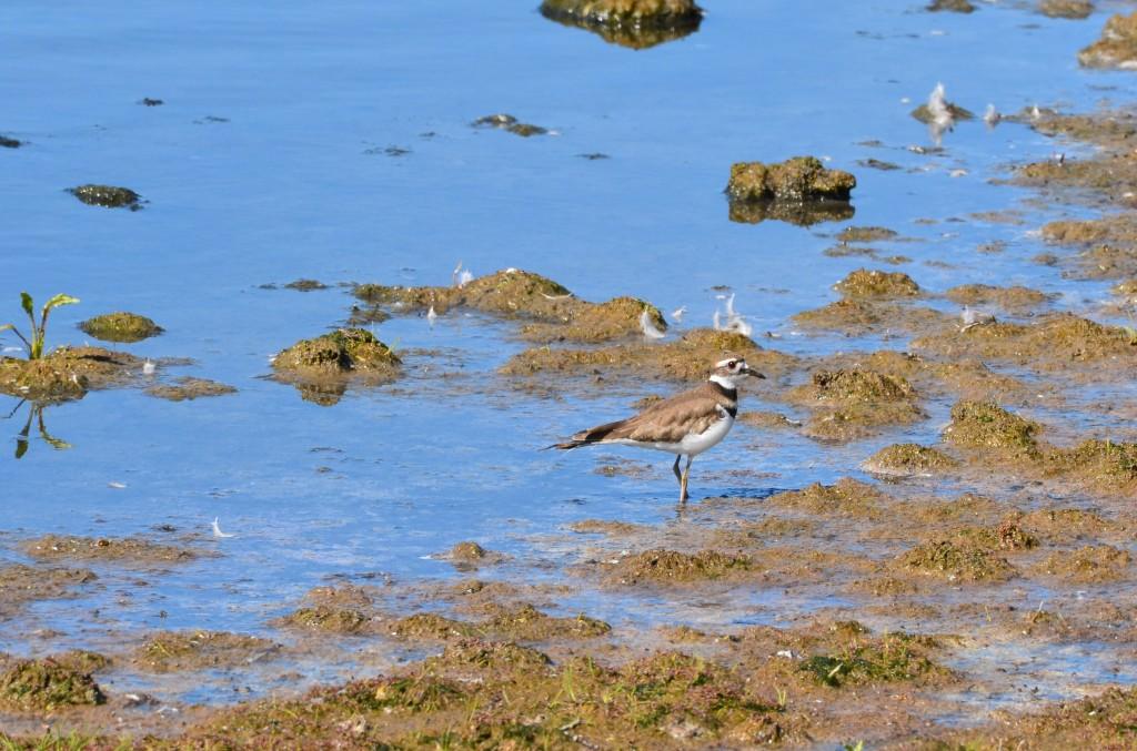 Shorebird along the Hudson Bay.