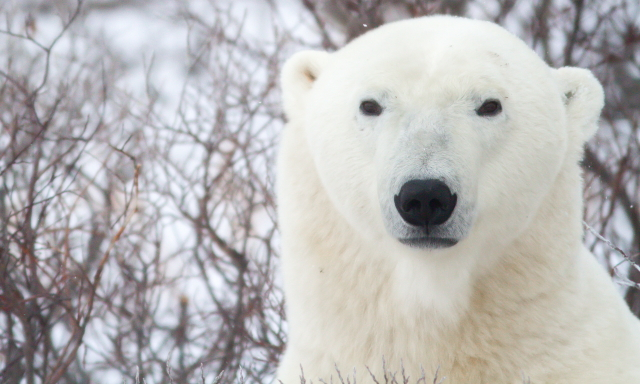 Polar bear in Churchill, MB