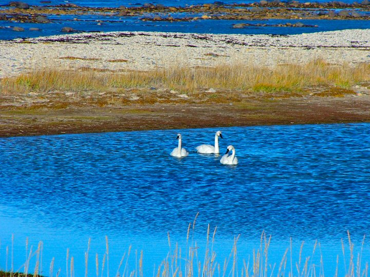 Tundra swans on the water in Churchill, Manitoba.