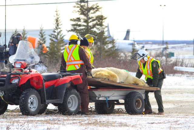Polar bear being moved from compound to take off area.