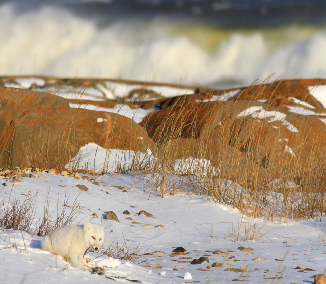 Arctic fox Churchill, Mb.