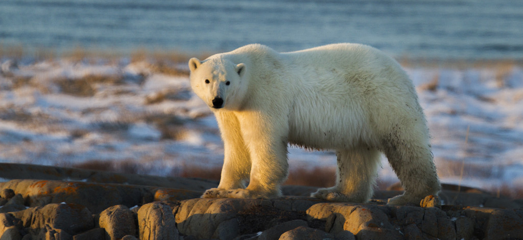 Polar bear Hudson Bay coast.