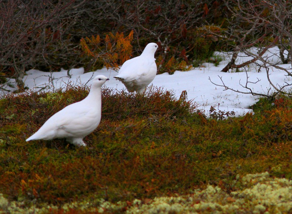 Willow ptarmigan in Churchill, MB.