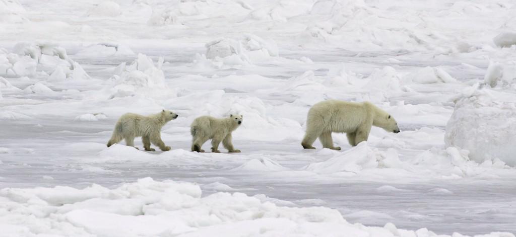 Polar bear mom and cubs.