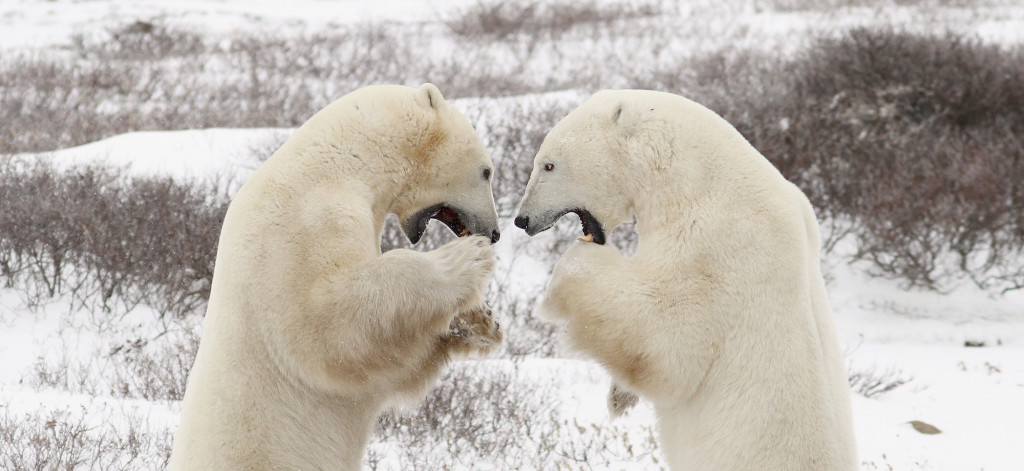 Polar bears sparring in Churchill, MB.