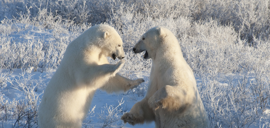 polar bears in Chiurchill