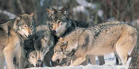 Gray wolf pack. National Wildlife Federation photo.