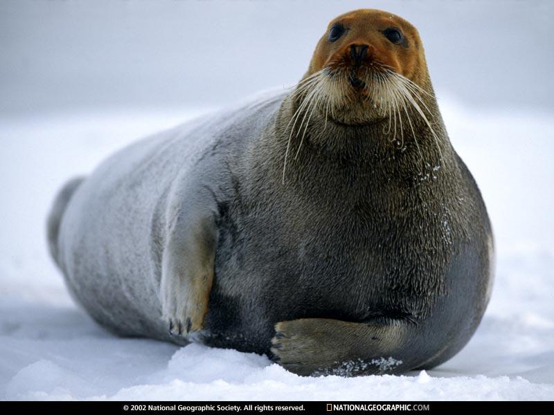 Bearded seal Arctic Ocean