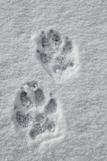 gray wolf prints