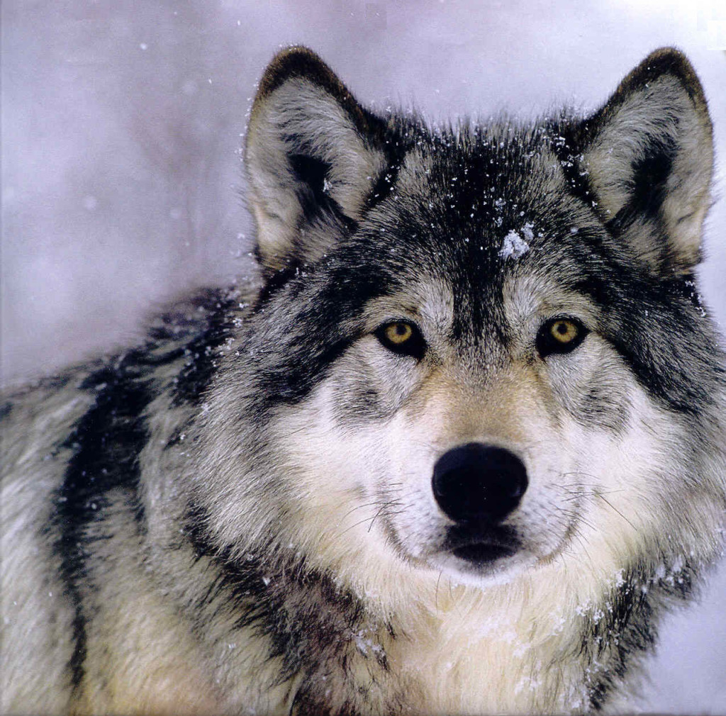 Lone Gray Wolf