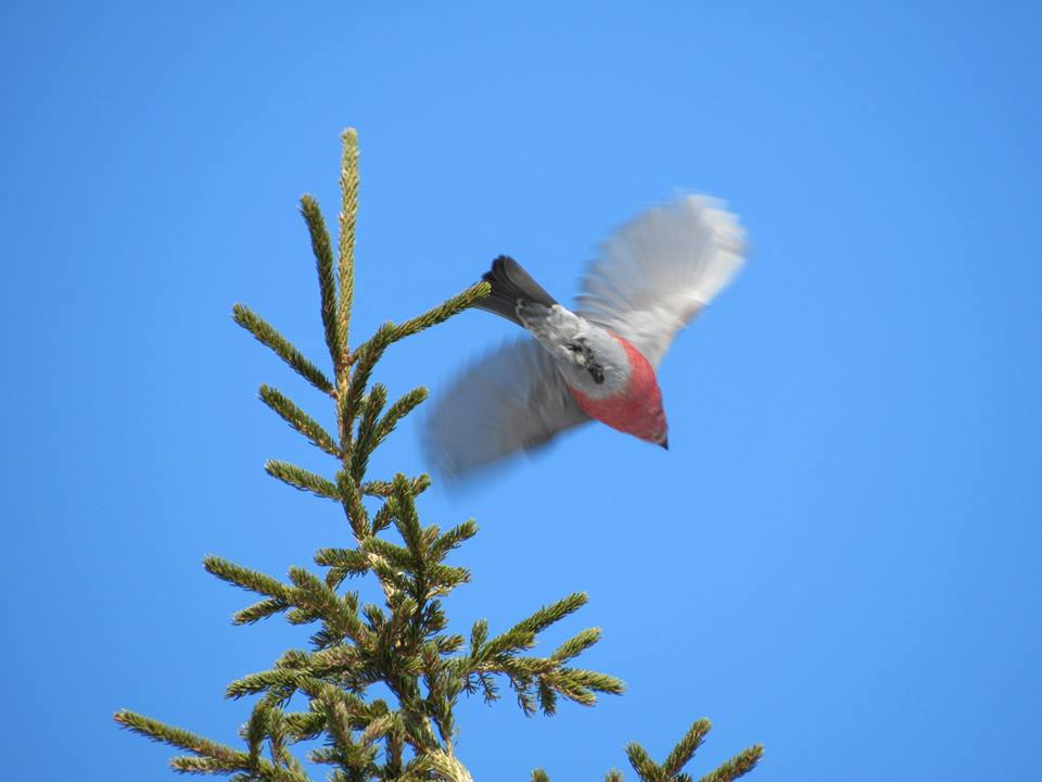 Red poll takes flight from a spruce in Churchill. Katie de Meulles photo.