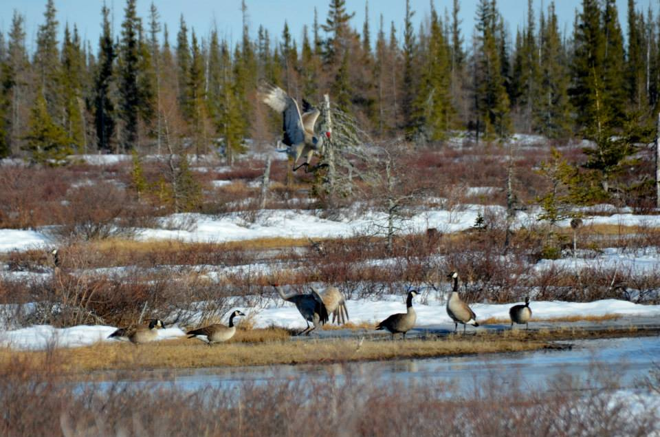 Sandhill cranes in Churchill, Manitoba