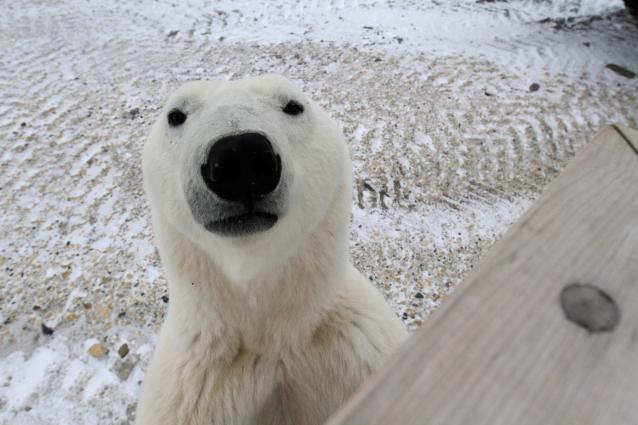 polar bear churchill.