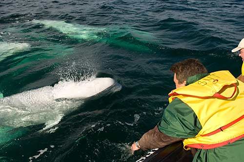 Beluga whale in the Churchill River