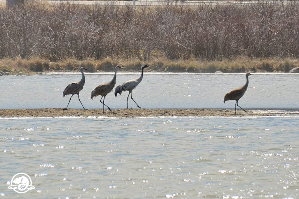 common crane in Churchill