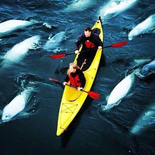 kayakers, belugas and sea north tours