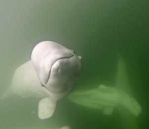 Beluga whale Churchill, Manitoba