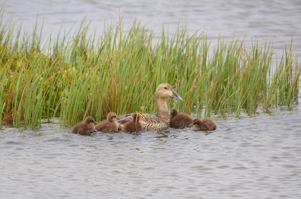 Eider duck and chicks in Churchill, MB