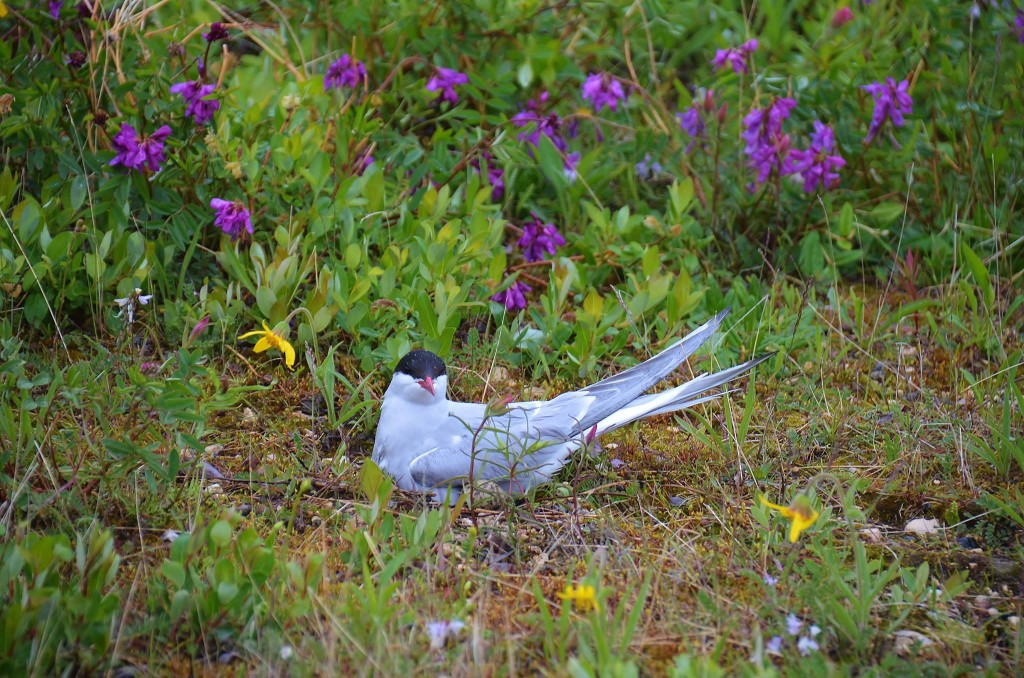 Arctic tern Churchill, MB
