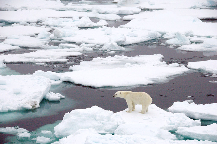 Polar bear on sea ice Arctic