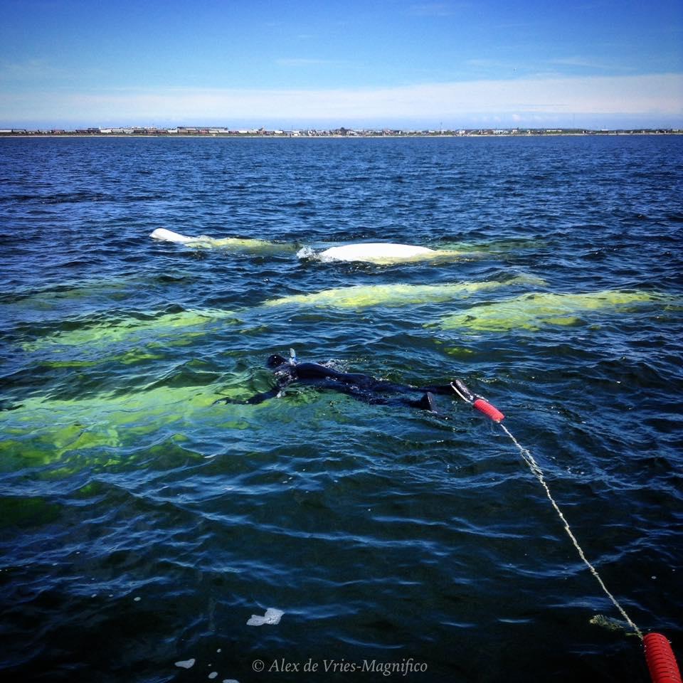 snorkel with belugas ADVM 2