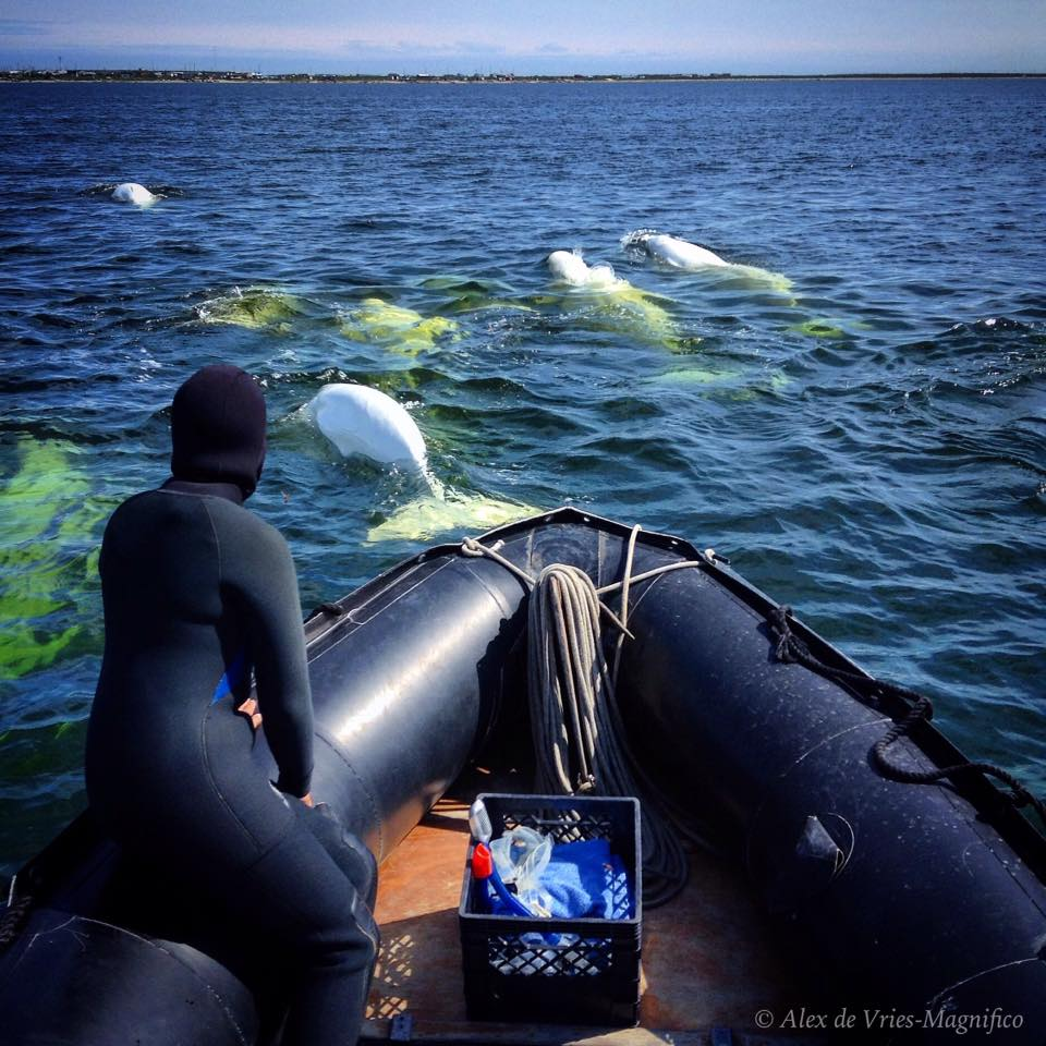 Belugas in Churchill River.