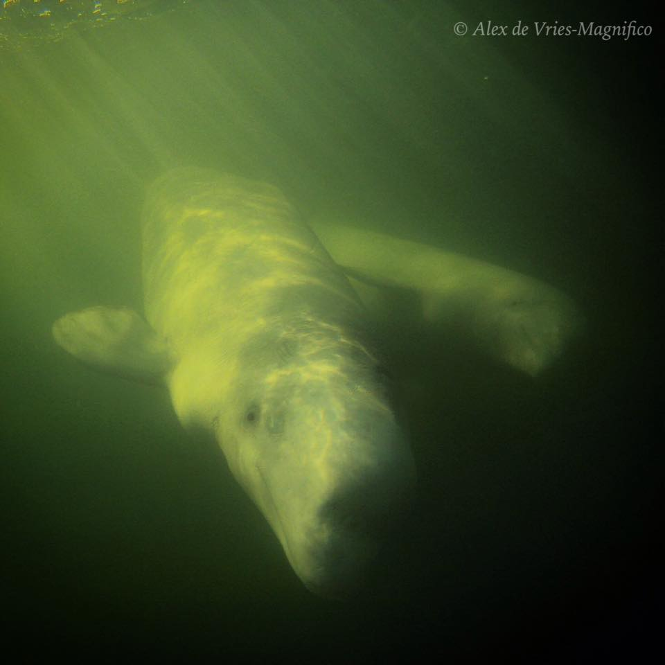 Alex de Vries Magnifico  belugas in Churchill River
