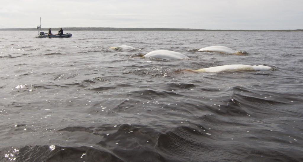 Beluga whales churchill, Manitoba