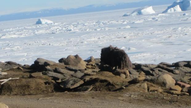 Muskoxen in Grise Fiord.