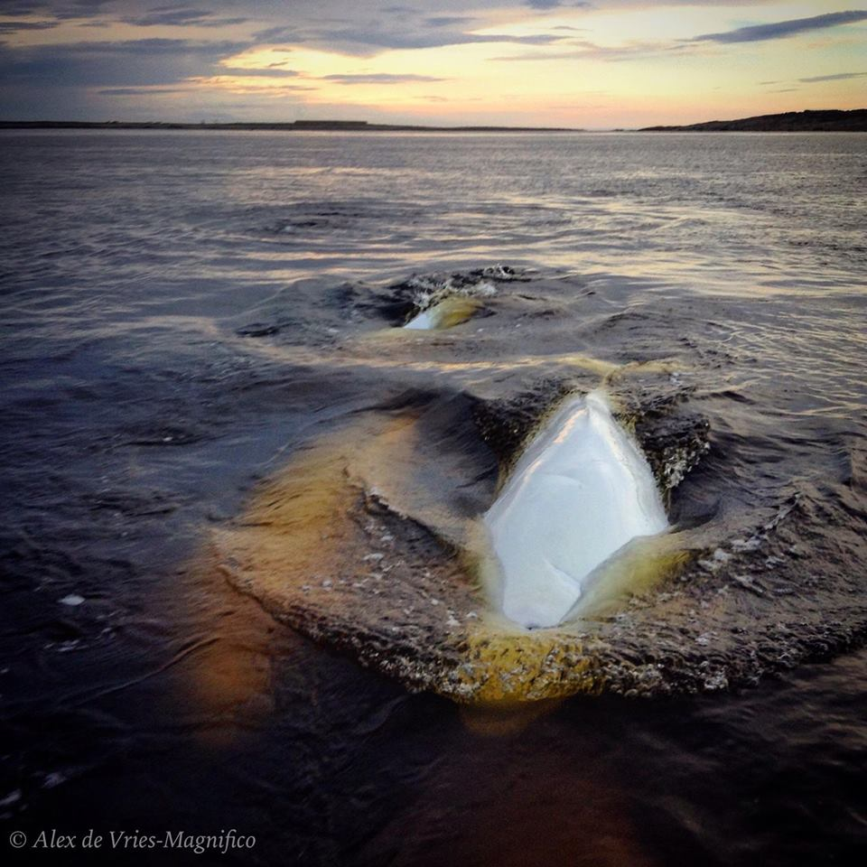 Belugas in Churchill River