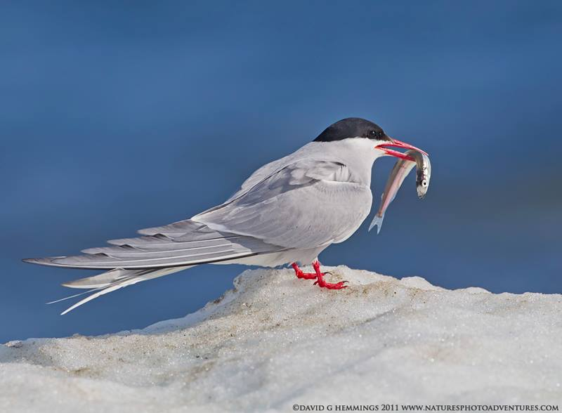 Arctic tern with capelin