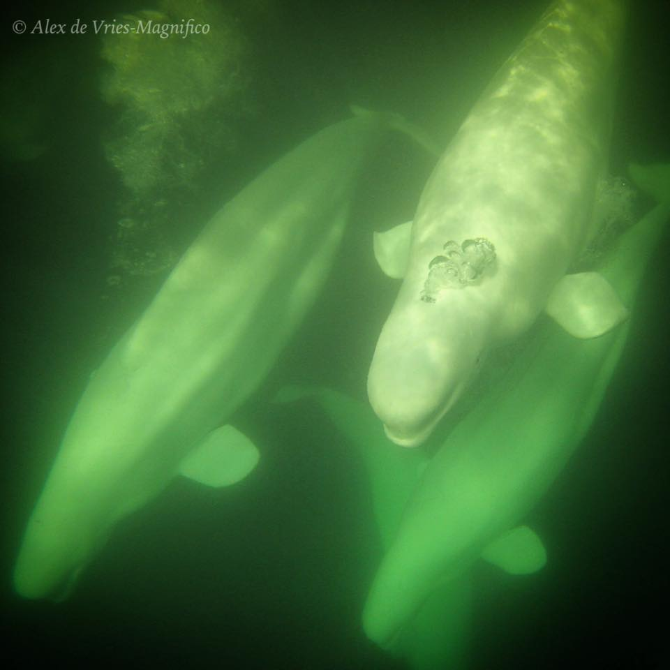 Beluga whales in Churchill