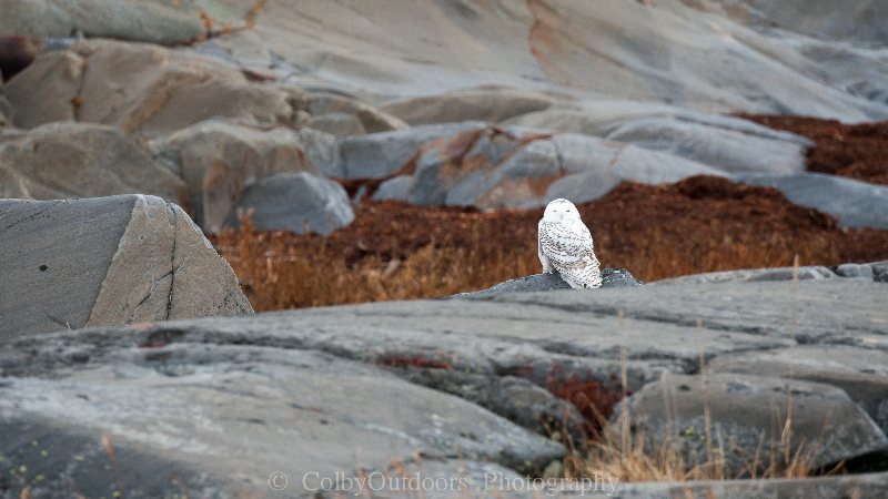 Churchill Snowy Owl