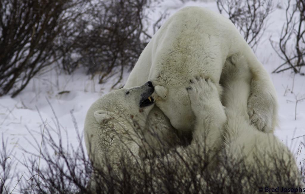 Polar bears in Churchill.