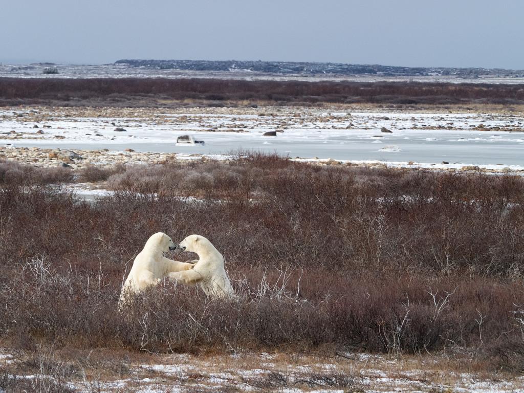 Polar bear churchill wildlife management area