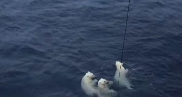 polar bears beaufort sea