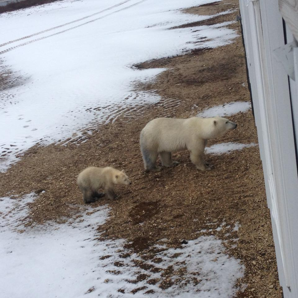 polar bears at lodge Jason luoma 2