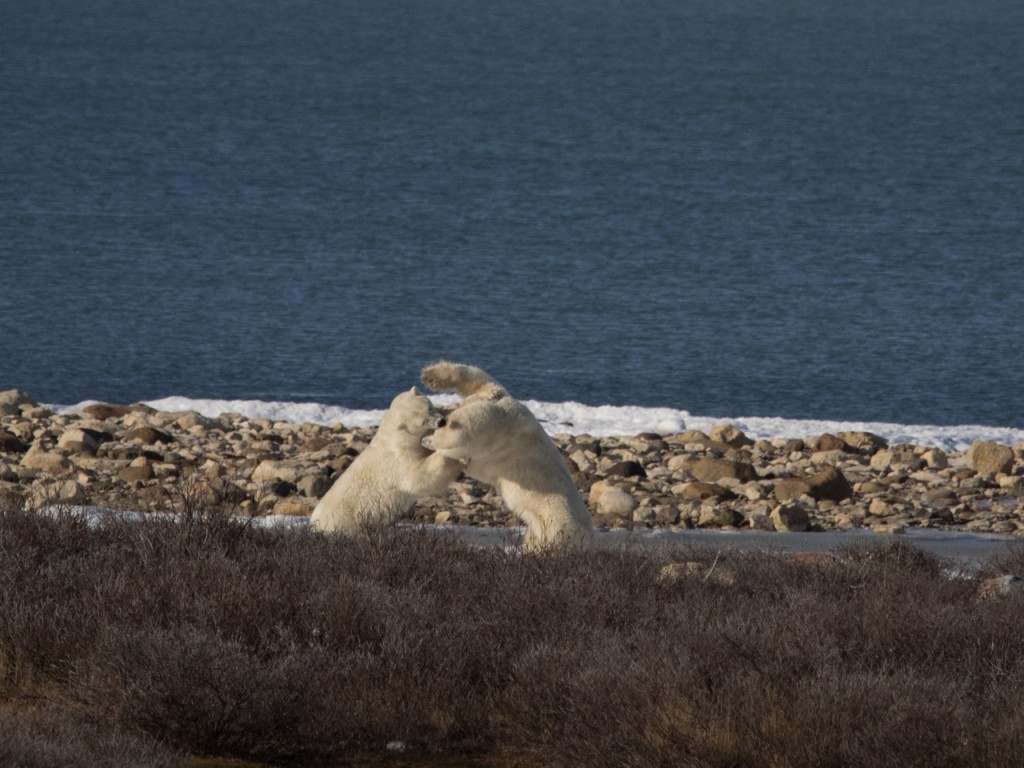 polar bears in churchill mock fighting