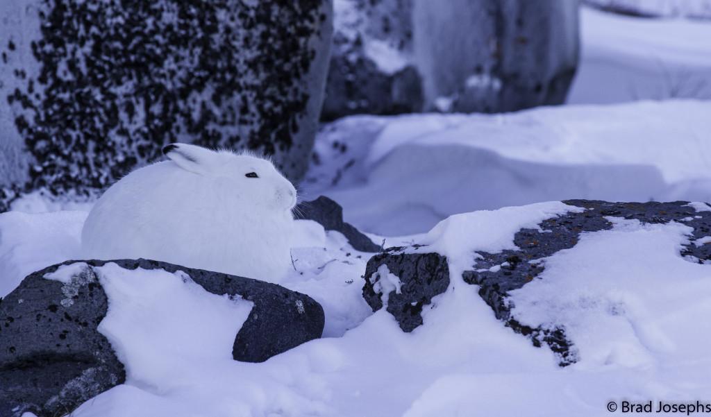 Brad Josephs Arctic Hare in Churchill, Manitoba