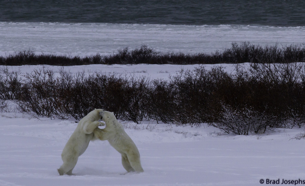 Brad Josephs Churchill polar bears