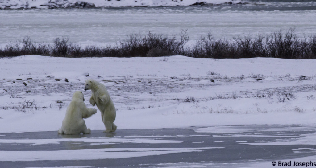 polar bears sparring in Churchill, Manitoba