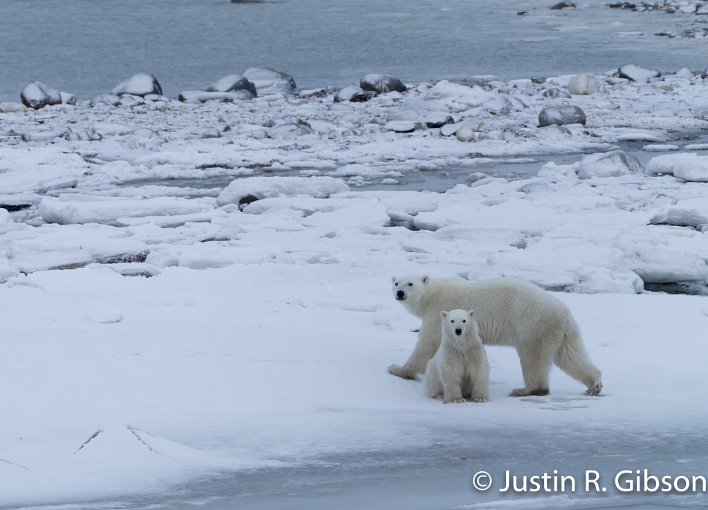 polar bear sow and cub Churchill, Manitoba