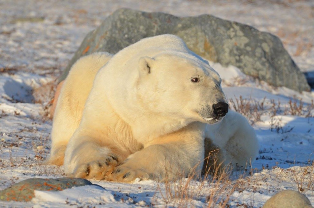 Polar bear Rhonda Churchill , Manitoba
