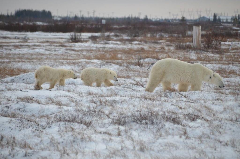 Polar bears Rhonda Reid
