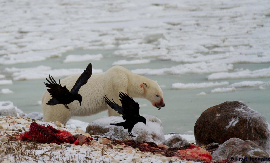 Polar bear seal kill in Churchill