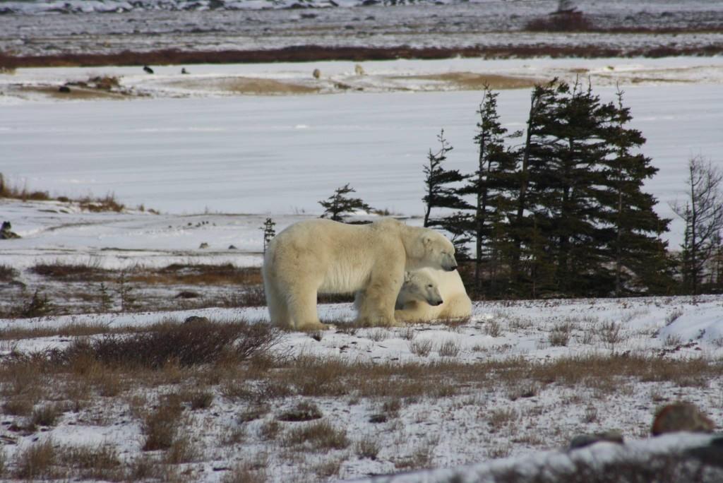 jg polar bears 2