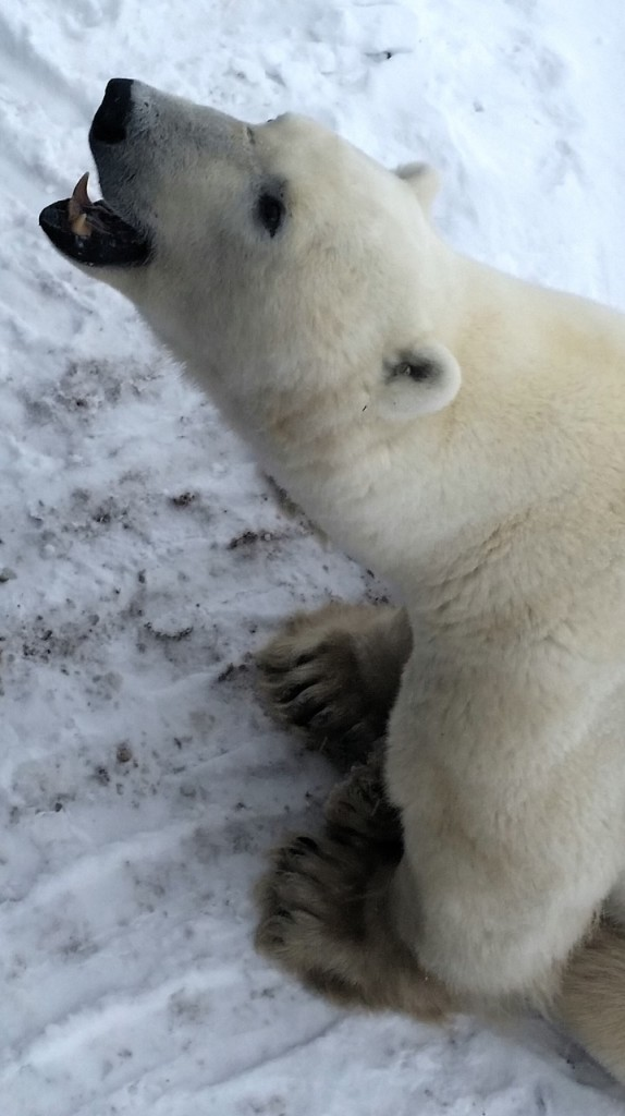 Polar bear in Churchill, Manitoba